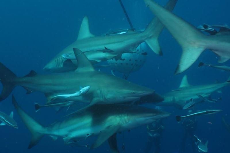 Shark B1